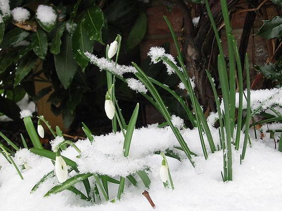 Підсніжники пробиваються крізь сніг. Джерело ілюстрації: http://www.en.wikipedia.org
