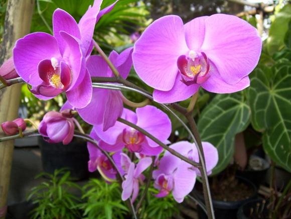 Квіти орхідеї фаленопсиса нагадують