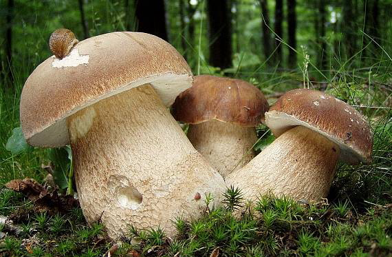 """Результат пошуку зображень за запитом """"білі гриби"""""""