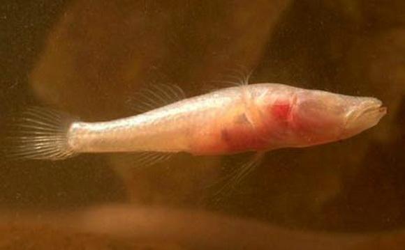 Мілеринґа справжня - один із двох видів сліпих Елеотрових бичків у печерах Західної Австралії. Джерело ілюстрації: http://www.environment.gov.au