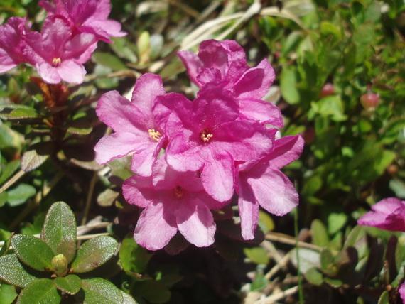 Рододендрон миртолистий rhododendron