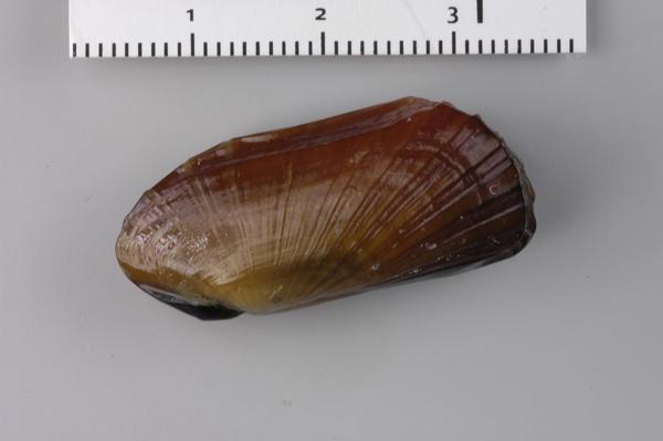 Новий вид глибоководних двостулкових молюсків знайдений біля берегів Нової Зеландії