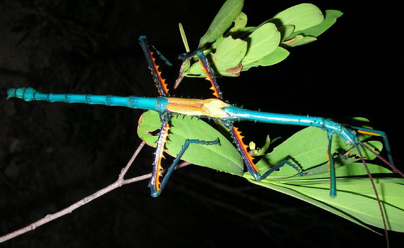 Ахріоптера оманлива (Аchrioptera fallax)