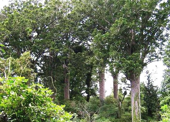 Дерева Каурі (Agathis australis (D.Don) високо піднімаються над шатром лісу. Джерело: http://www.adrien.com