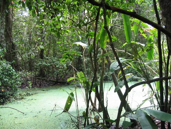 У болотах амазонських дощових тропічних лісів живуть численні види цихлід