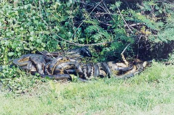 Анаконди у шлюбний період утворюють справжні живі клубки. Джерело: http://www.amazonair.com