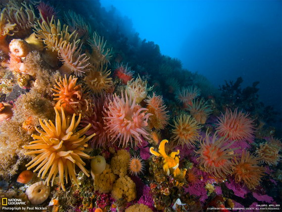 Актинії - морські анемони заселяють нижню частину коралового рифу у зоні субліторалі