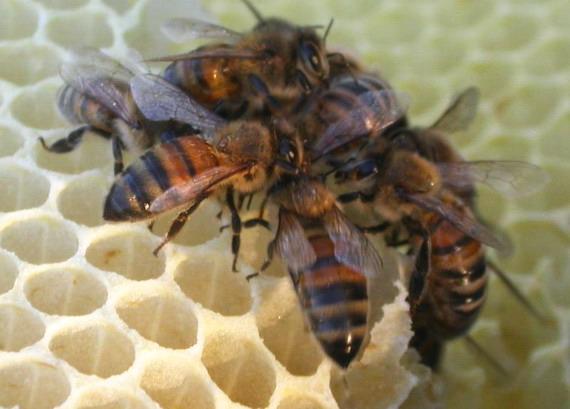 Бджоли на стільниках