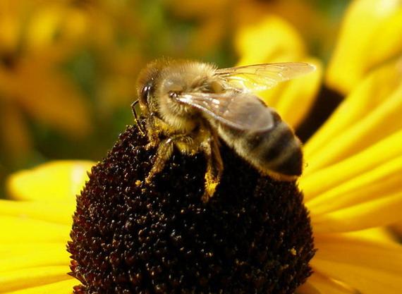 Бджола медоносна (Apis mellifera Linnaeus, 1758)