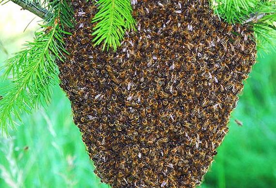 Бджолиний рій