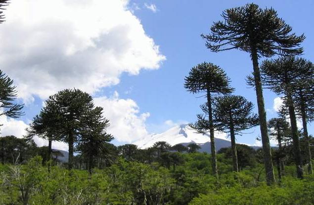 У помірних широтах пошереними були араукарієві ліси, які збереглись до наших днів лише у Південній Америці