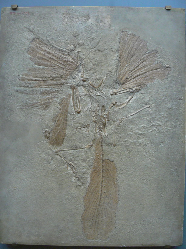 archaeopteryx_paris_st_naturalist.jpg