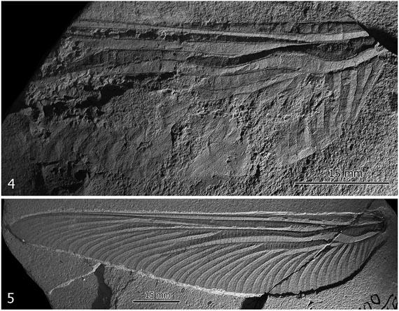 Відбитки крил Арктотипуса виїмчастого (Arctotypus sinuatus Martynov, 1932) (4) та Арктотипуса лісового (Arctotypus sylvaensis Martynov, 1932) (5)