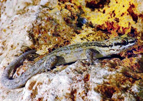 Арістеліґер Реєза (Aristelliger reyesi Diaz and Hedges, 2009) - новий вид ґеконів із заходу Куби. Джерело ілюстрації: http://www.zhelezyakac.om