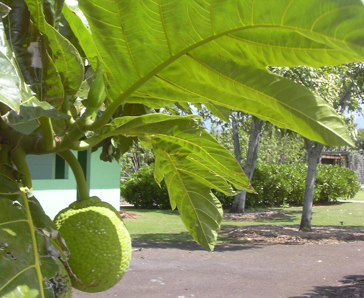 artocarpus_altilis.jpg