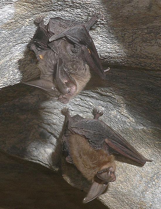 Кажани є звичайними мешканцями печер
