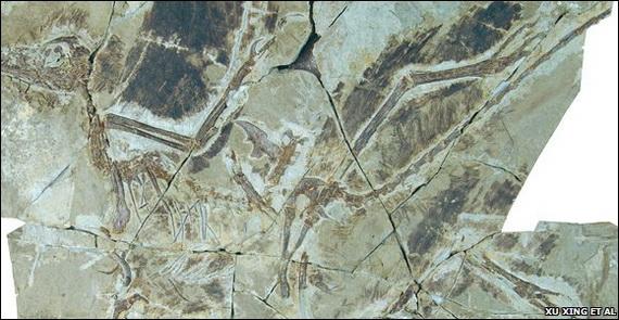 Скам'янілі рештки Анхіорніса Гакслі (Anchiornis huxleyi Xu, Zhao, Norell, Sullivan, Hone, Erickson, Wang, Han, et Guo, 2009) - одного із найдрібніших динозаврів. Джерело:http://www.bbc.co.uk