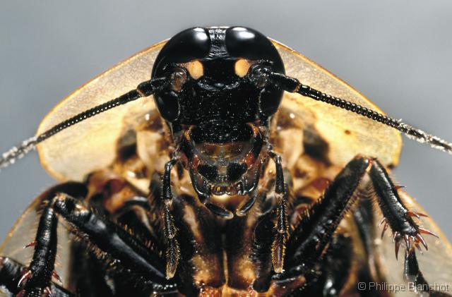 blaberus-craniifer.jpg