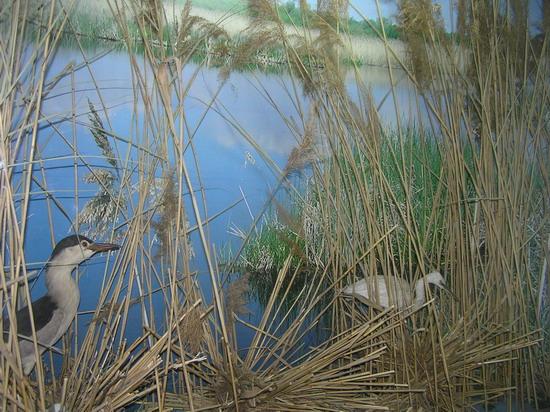 Експозиція болотних птахів