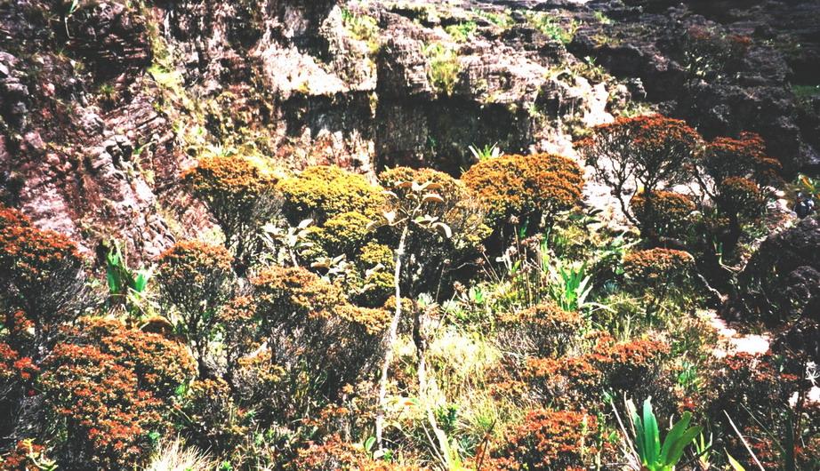 У декотрих місцях тепуї Рорайма виникають цілі криволіммя із Боннетії рораймської