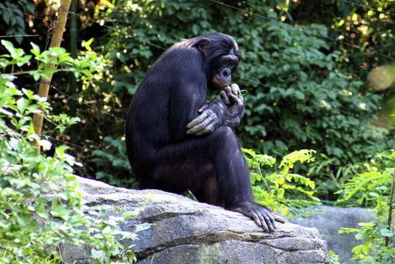 Банобо у зоопарку