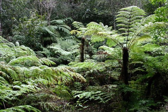 Гірські туманні ліси із деревовидних папоротей. Джерело: http://www.botanic-garden.ku.dk