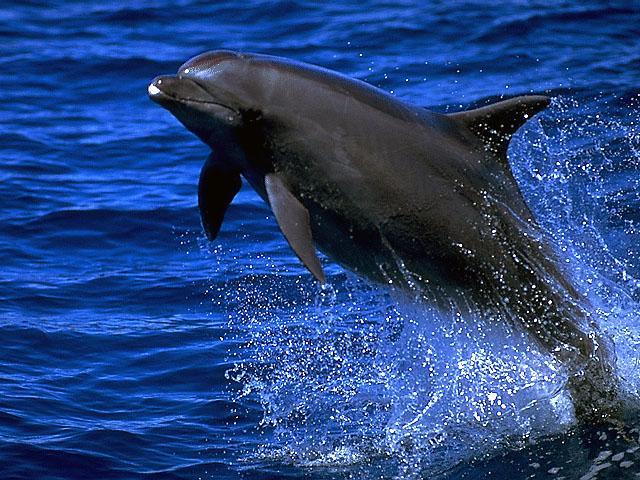 bottlenose-dolphin1
