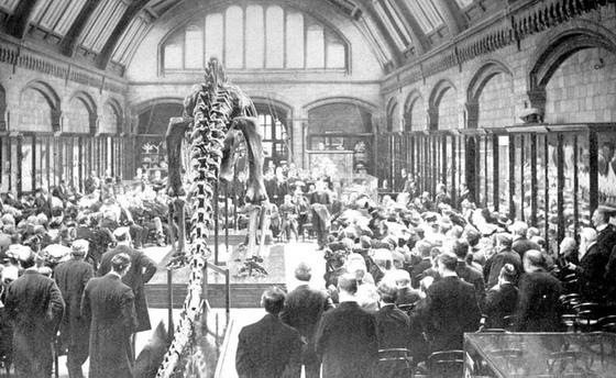 Презентація знаменитої на увесь світ експозиції Диплодока у Британському природознавчому музеї, 12-го травеня 1905 року. Зверніть увагу на те, як реконсруйовано скелет. Згідно із тодішніх уявлень, динозаври були плазунами, то ж ноги розставлені з боків тіла, а хвіст волочиться по ґрунті.