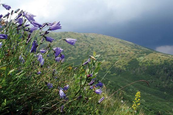Дзвоники круглолисті (Campanula rotundifolia L.) в альпійському поясі Мармароських гір (світлина Руслана Жирака)