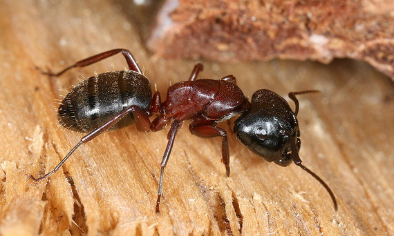 Мураха деревоточець (Camponotus ligniperdus (Latreille, 1802). Джерело: http://www.de.wikipedia.org