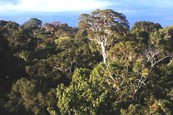 Верхні яруси тропічного лісу