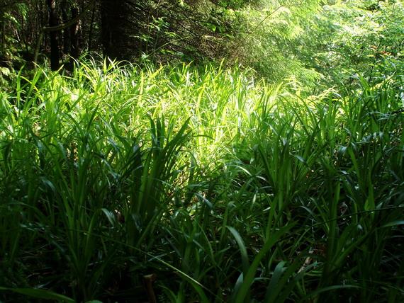 Подекуди, прогалини у наметі лісу цілком вкриті осоками (світлина Андрія М. Замороки)