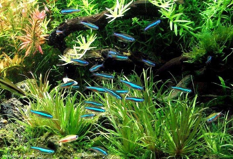 """Цей """"Харациновий акваріум"""" представлений синіми неонами"""