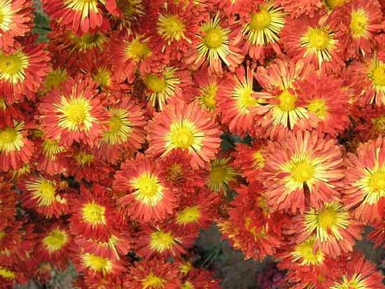 Хризантема сорту Червоні Вітрила у Національному ботанічному саді України