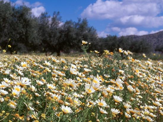 Дикі хризантеми, як ось ця Хризантема вінкова (Сhrysanthemum coronarium L.), утворюють суцільні зарості