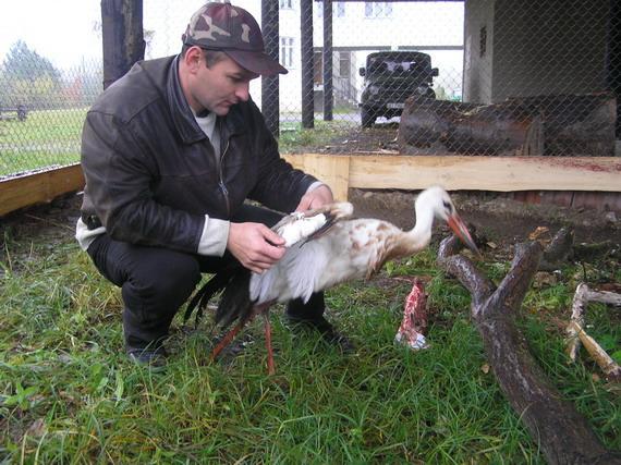 Начальник наукового відділу Володимир Бучко оглядає пораненого Лелеку білого (Ciconia ciconia L.)