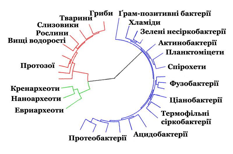 Сучасне дерево життя: синій - бактерії, зелений - археї, червоний - евкаріоти