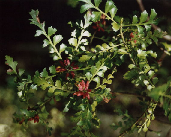 Танекага (Phyllocladus trichomanoides) - далекий родич європейських хвойних... Джерело: http://www.conifers.org