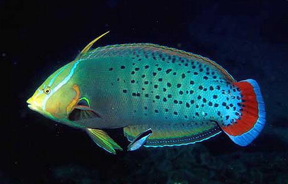 Губан корлівський (Сoris formosa (Bennett, 1830) і риба-чистильник