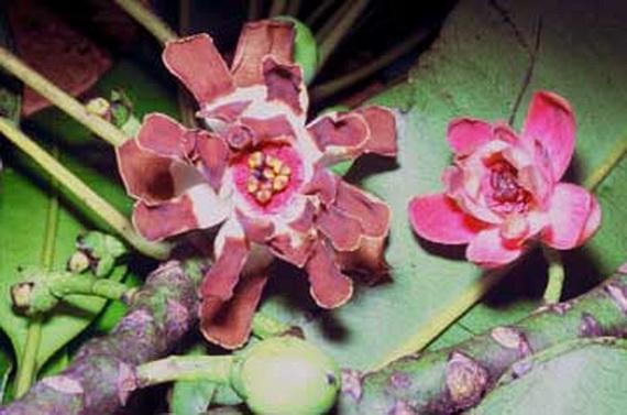 Квіти Деґенерії трояндоквіткової (Degeneria roseiflora). Джерело: http://www.gigantopteroid.org