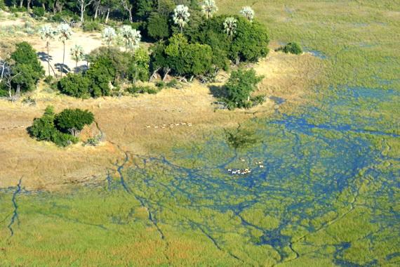 Болотні та чагарникові біотопи у дельті Окаванґо. Видно табуни газелей. Вигляд із висоти пташиного польоту. Джерело ілюстрації: http://www.panoramio.com