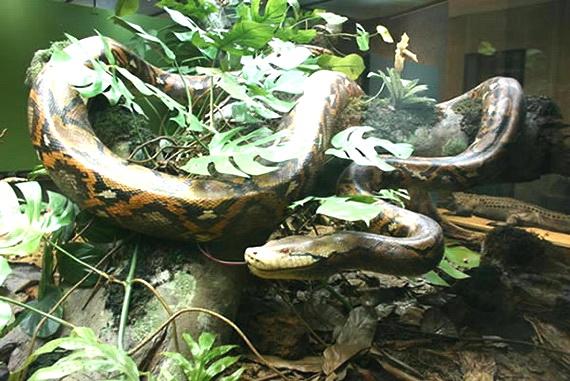 Тенетний пітон – найдовша змія у світі. Джерело: http://www.dinosoria.com