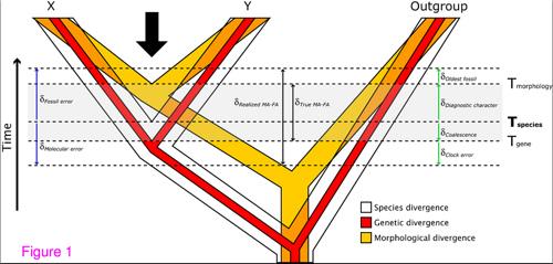 Скам'янілості знахдки з'являються завжди пізніше (оранжевим), ніж утворюються види (червоним).