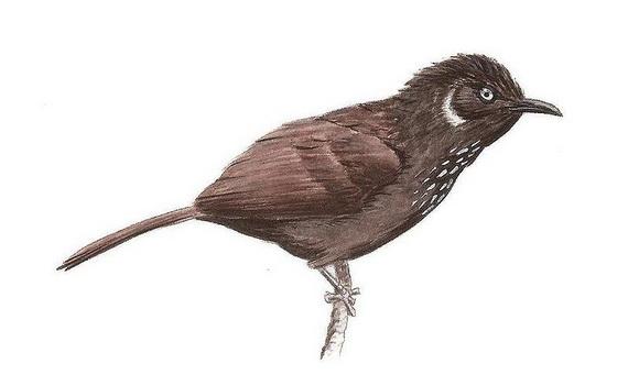 Загальний вигляд Тимелії-стахірис нонґґанґійської. Джерело:  http://www.en.wikipedia.org