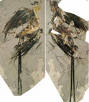 Еоконфуціусорніс Женґа (Eoconfuciusornis zhengi)