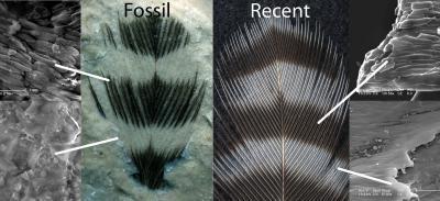 Меланосоми у скам'янілому і сучасному пір'ї