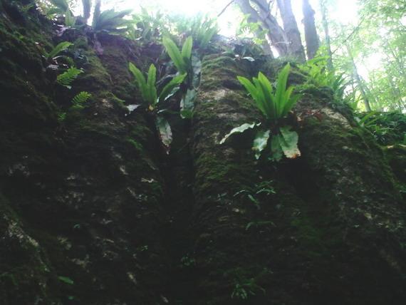 Наче у тропічному лісі, Мединські скелі поросли роскішними папоротями