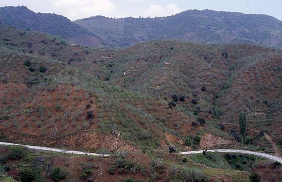 У Центральній Азії Трихоферус польовий заселяє плантації Фігового дерева (Ficus carica L.)