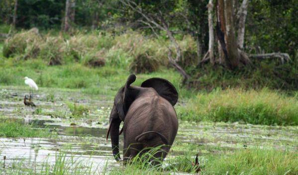 Африканський лісовий слон у болотах Конґо