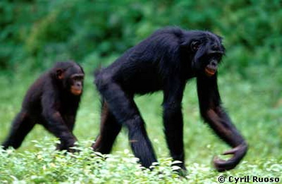 Банобо у природі